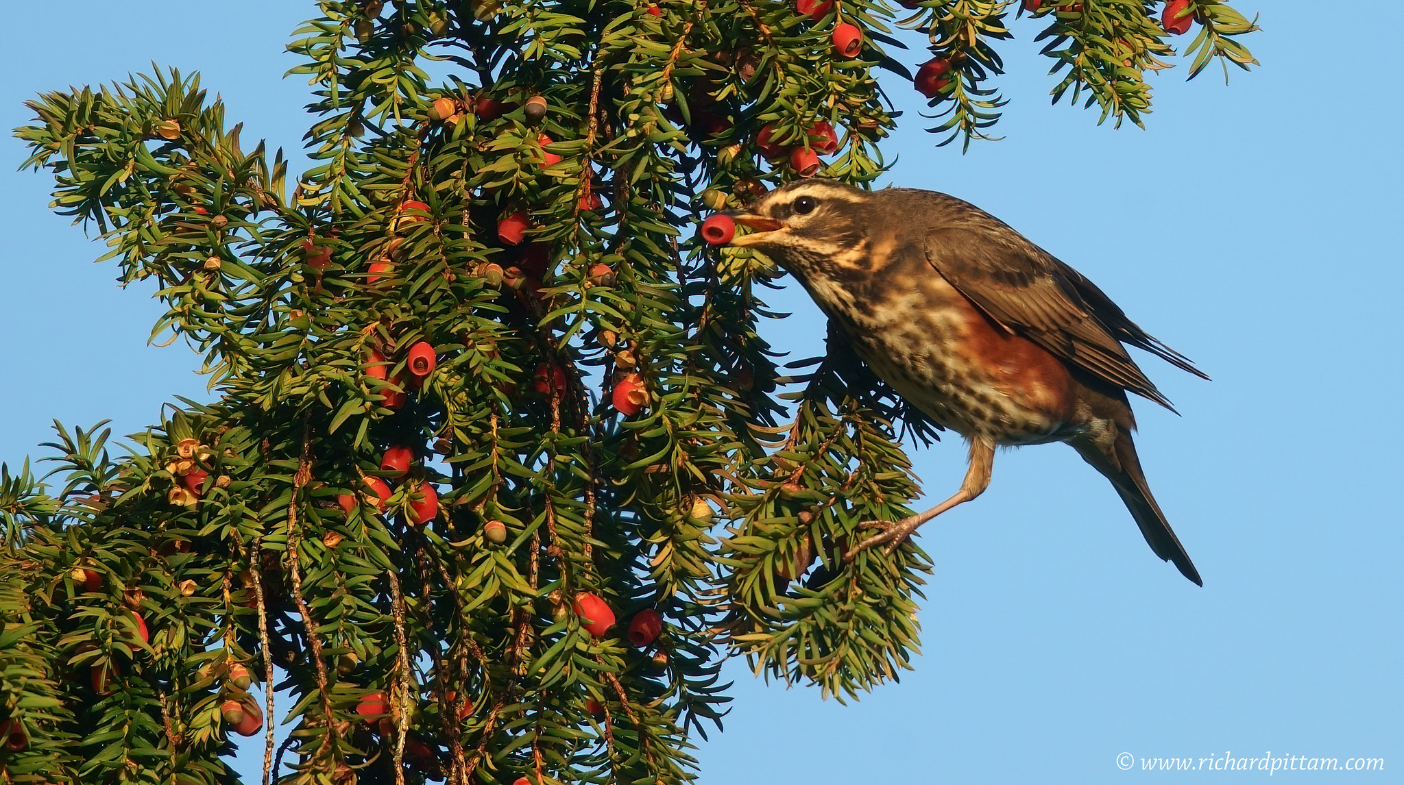 Redwing in Yew
