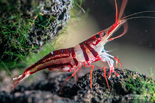 Harlequin Shrimp (Caridina spongicola) - PC140371