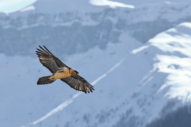 Gypaète barbu - Gypaetus barbatus -Bearded Vulture