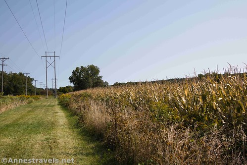 Cornfield along the Genesee Valley Greenway, Fillmore, New York