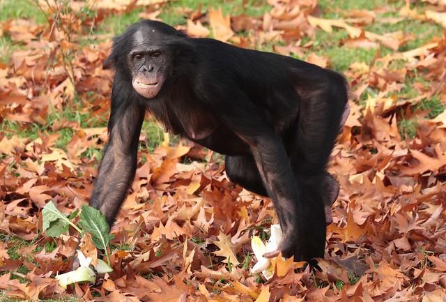 bonobo Apenheul 9K2A9358