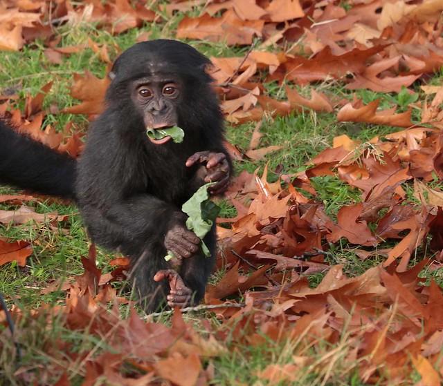 bonobo Apenheul 9K2A9383