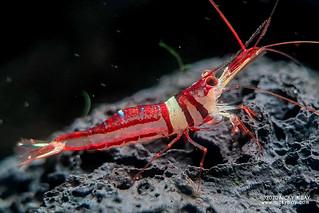 Harlequin Shrimp (Caridina woltereckae) - 20201211_215549