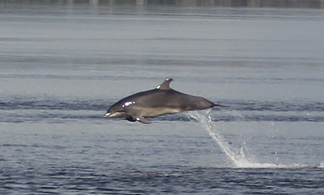 Juping Dolphin, Scotland.