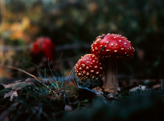 Harz - Young Agaric