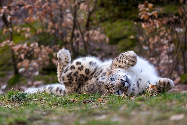 Rolling Snow Leopard