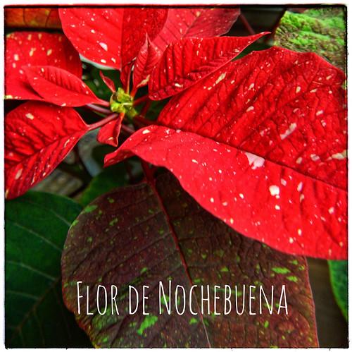 Poinsettia, Flor de Nochebuena, Cuetlaxóchitl; run through the photo app Snapseed