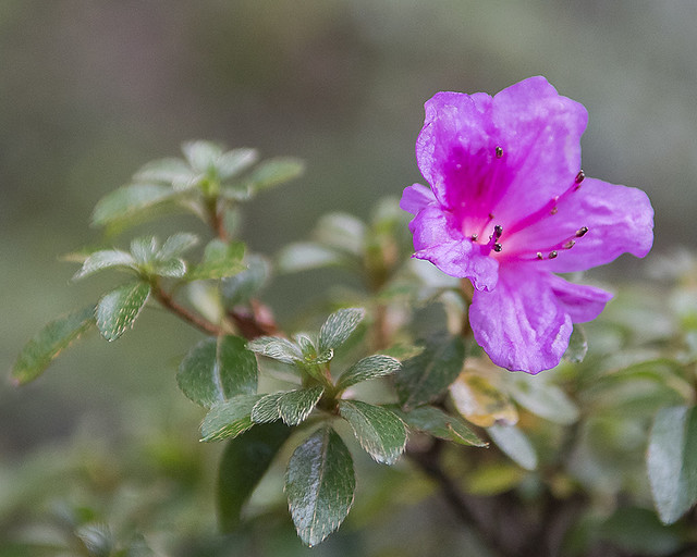 Rhododendron Kiusianum Murasaki Shikibu' Bed 34