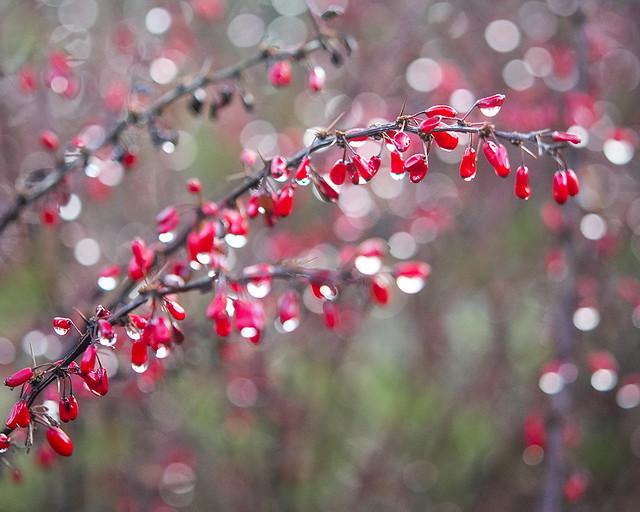 Berberis thunbergii f. autropurpurea 'Rose Glow'