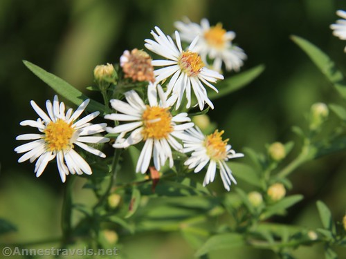 Wavyleaf Asters along the Genesee Valley Greenway, Caneadea, New York