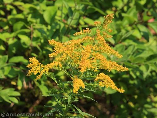 Tall Goldonrod flower, Genesee Valley Greenway, Candeadea, new York