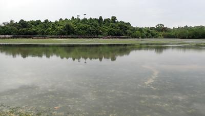 Dugong feeding trails at Chek Jawa, Dec 2020