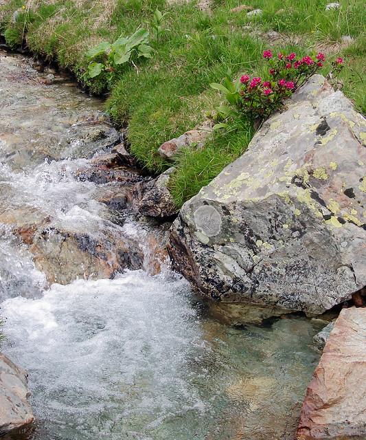 Rododendri fioriti sulla sponda del torrente