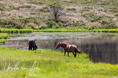 Wild Brumby at Three Mile Dam 1606