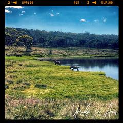 Wild Brumbies at Three Mile Dam 6576