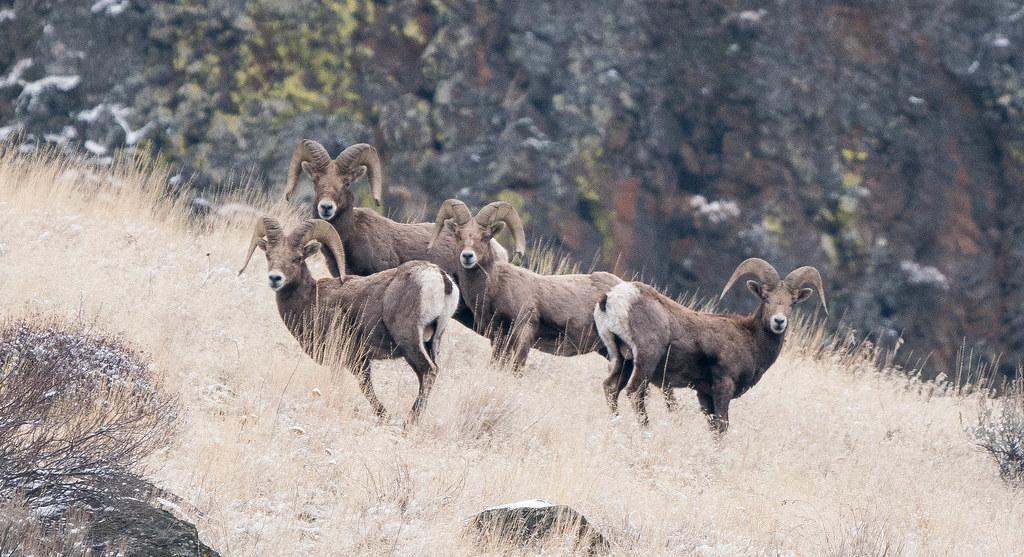 Rams (1 of 1)