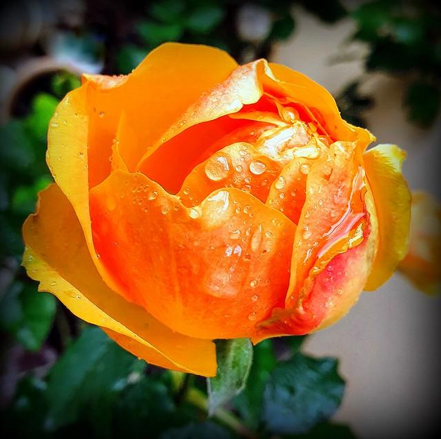 Rose of December