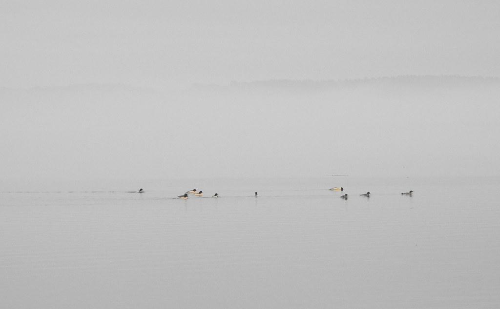 Ducks in the fog