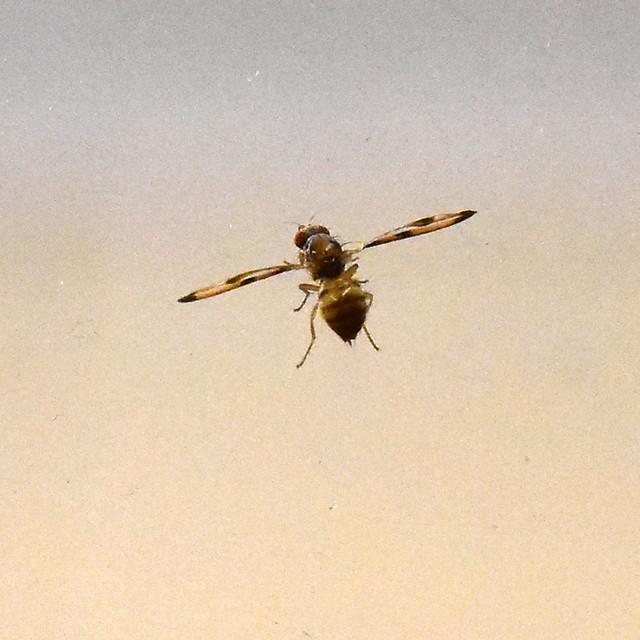Palloptera muliebris