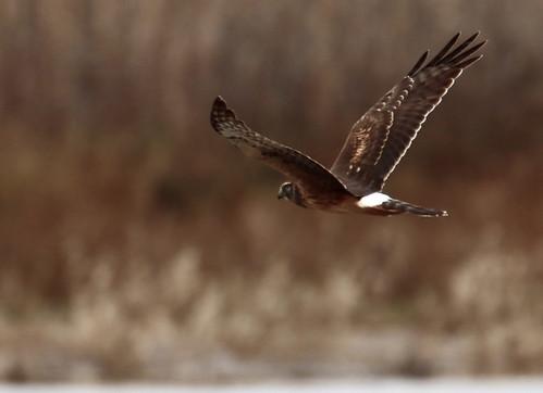 Northern Harrier - Montezuma NWR - © Jeff Eichner - Dec 10, 2020