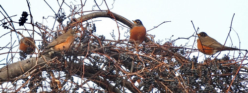 American Robin - Webster Park - © Candace Giles - Dec 15, 2020