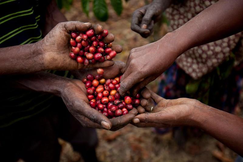 Cơ hội cho cà phê đặc sản Robusta (3)