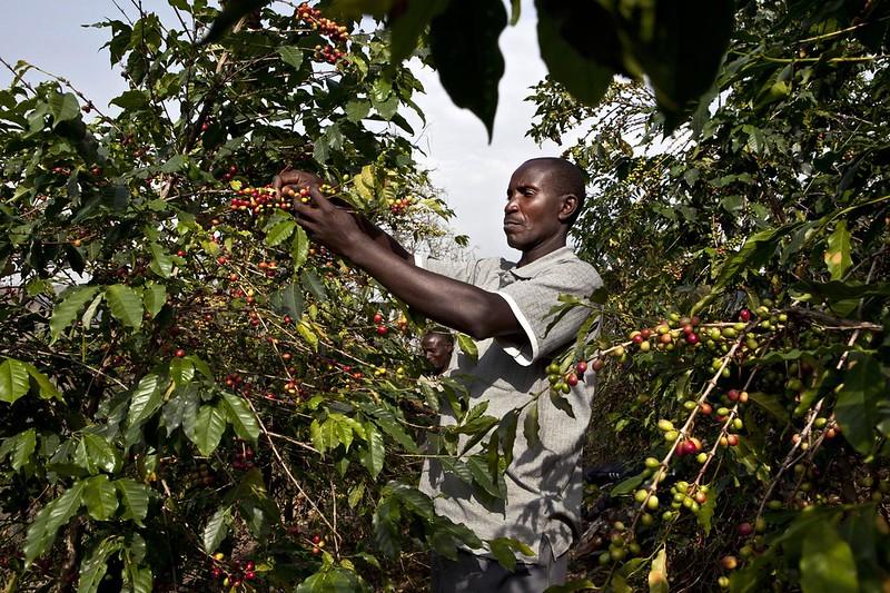 Cơ hội cho cà phê đặc sản Robusta (2)