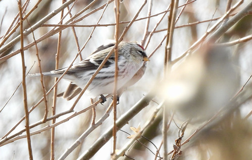 Hoary Redpoll - Braddock Bay East Spit - © Candace Giles - Dec 11, 2020
