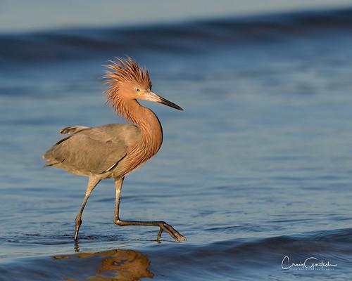 bunchebeach reddishegret egret bird avian wadingbird waves blue nature wildlife animal nikon d850