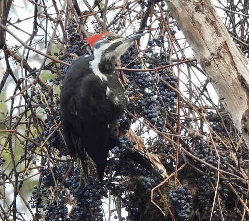 Pileated Woodpecker - Webster Park - © Candace Giles - Dec 15, 2020