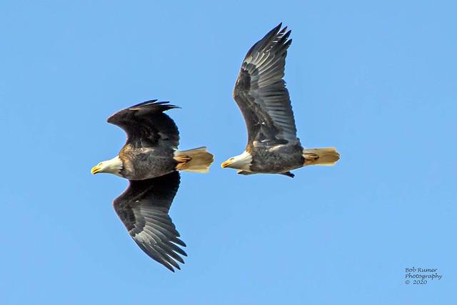 Adult Bald Eagles.