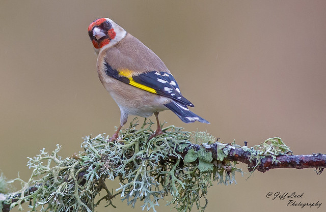 JWL3493  Goldfinch..