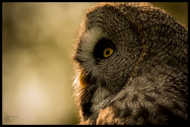 Bartkauz / great grey owl