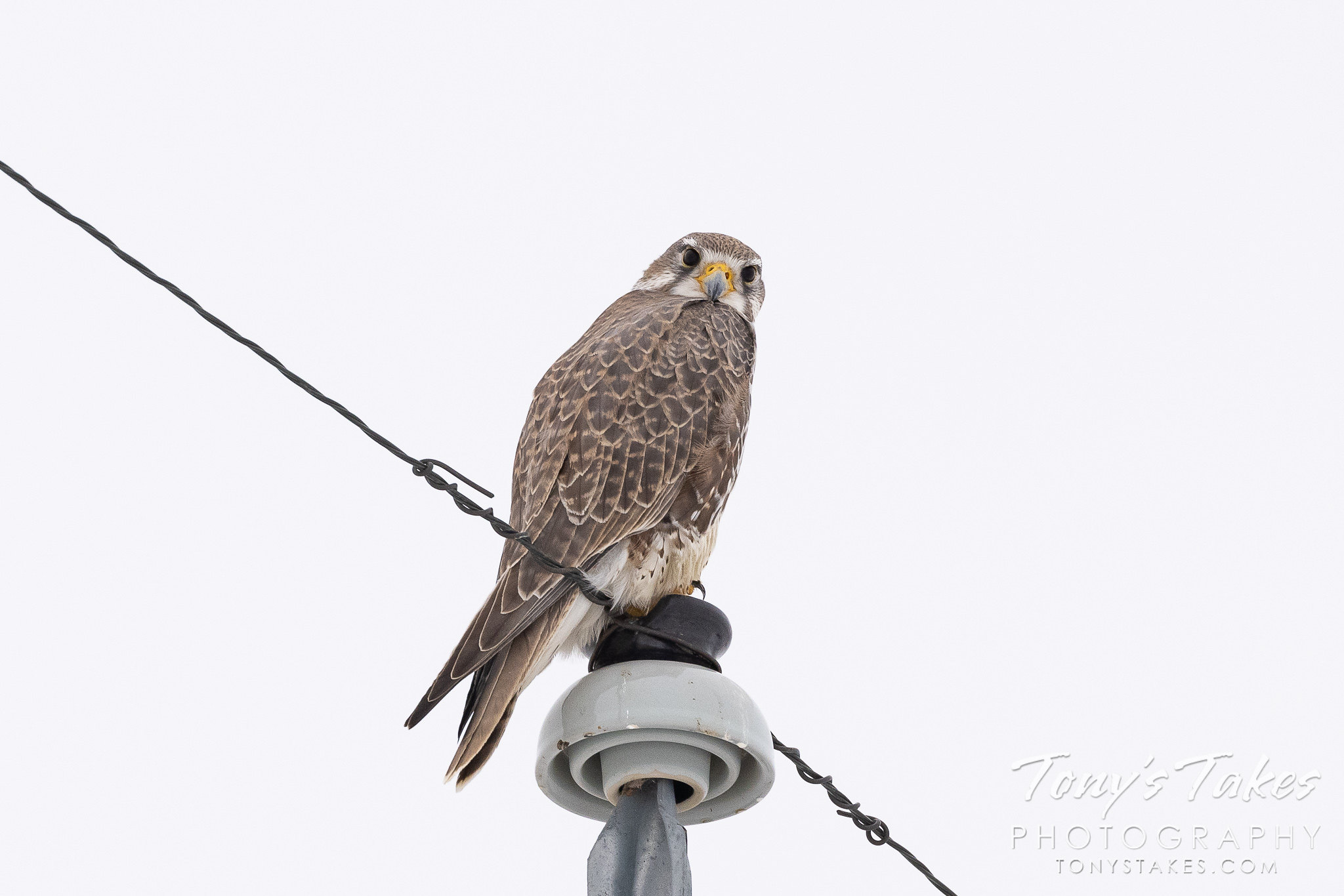 Prairie falcon hanging out
