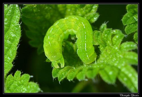 Chenille de Phlogophora meticulosa sur Urtica dioica