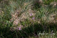 Pale Vanilla Lily (Arthropodium Milleflorum) 3099