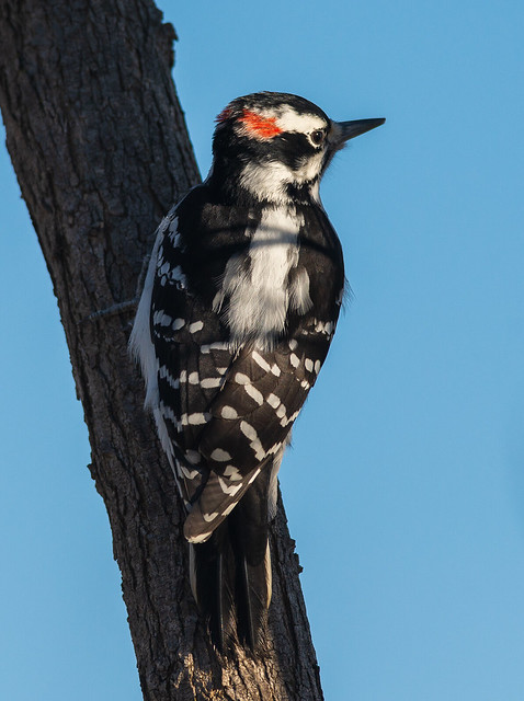 Male Hairy Woodpecker Plumage