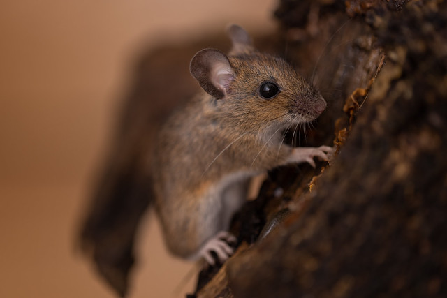 Wood mouse in the house! Explored 18-12-20 #366