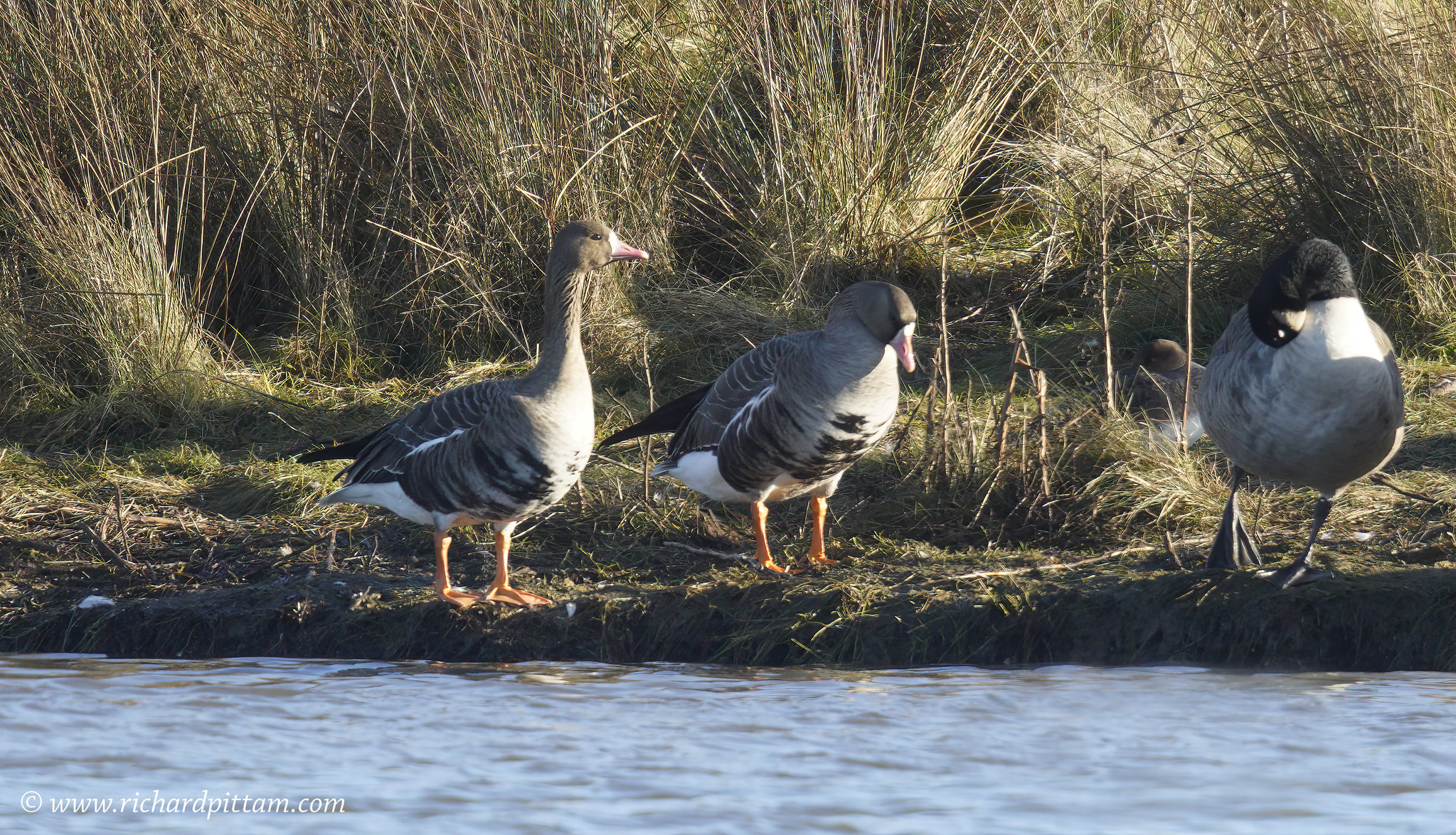 Russian White-fronted Geese [ showing barred under belly]