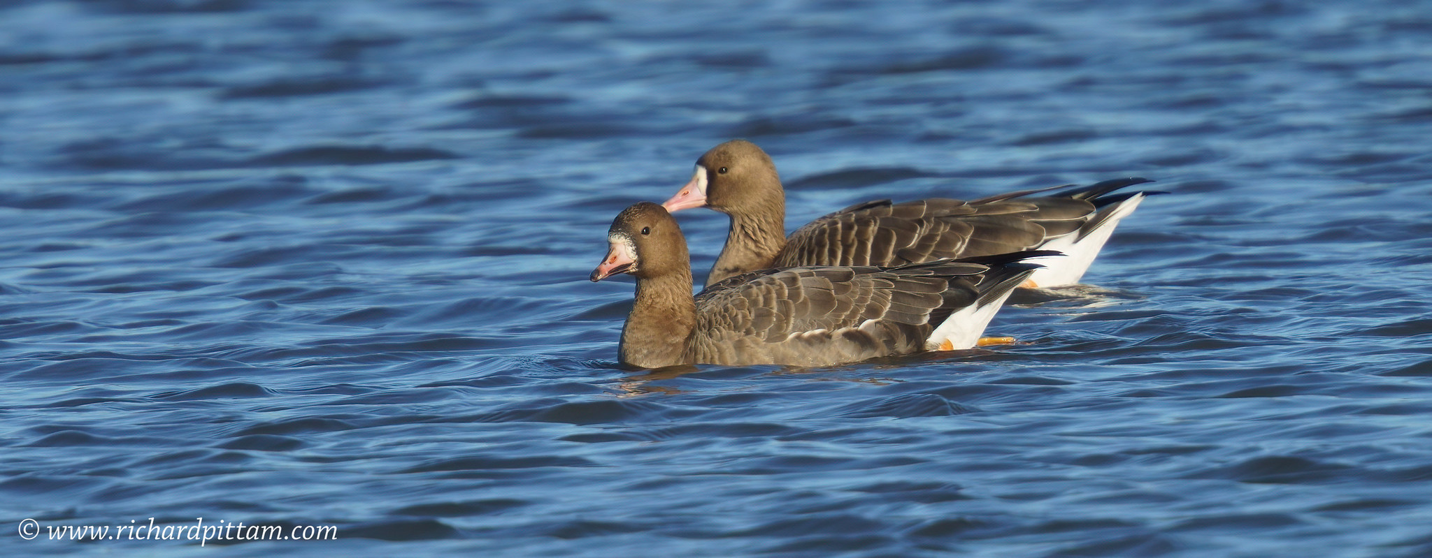 Russian White-fronted Goose