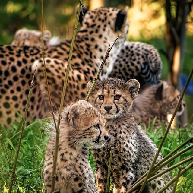 Cheetah Family (Explored Dec 18, 2020)
