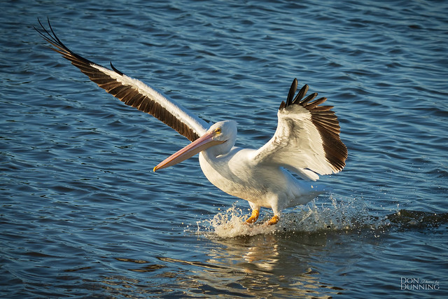 Water Skiing Pelican