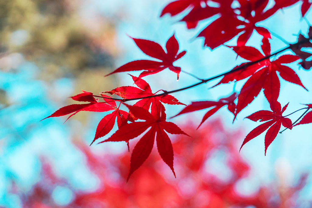 Autumn leaves at Joshinji Temple : 九品仏浄真寺の紅葉