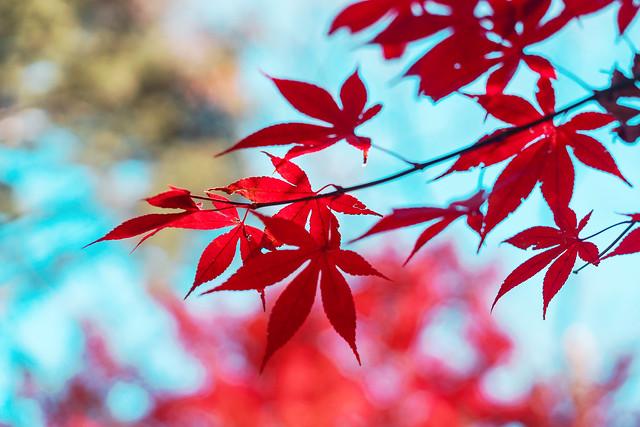 Autumn leaves at Joshinji Temple : 九品仏浄真寺の紅葉