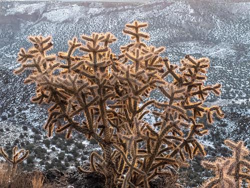 cactus cholla