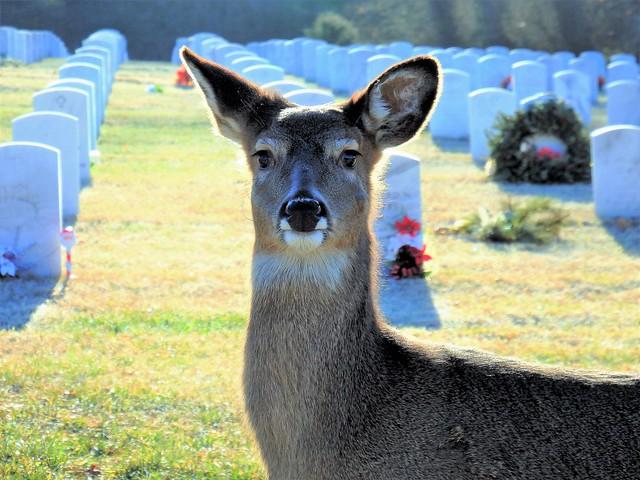 Deer - Jefferson Barracks National Cemetery - St. Louis, Missouri (2) - Explored