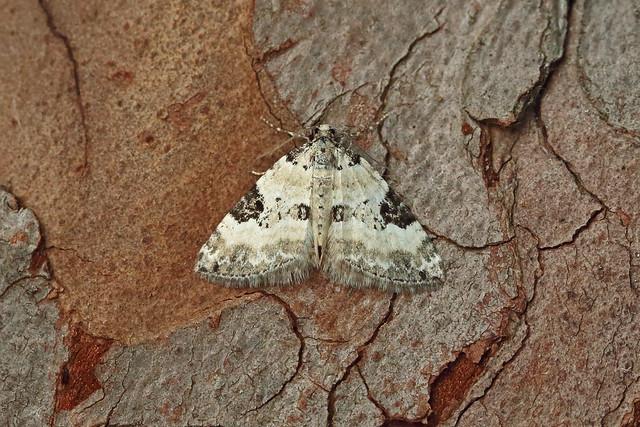70.136 Pretty Pinion (Perizoma blandiata), Insh Marshes, Highland