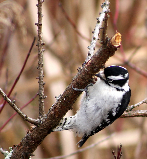 Woodpecker (Downy )