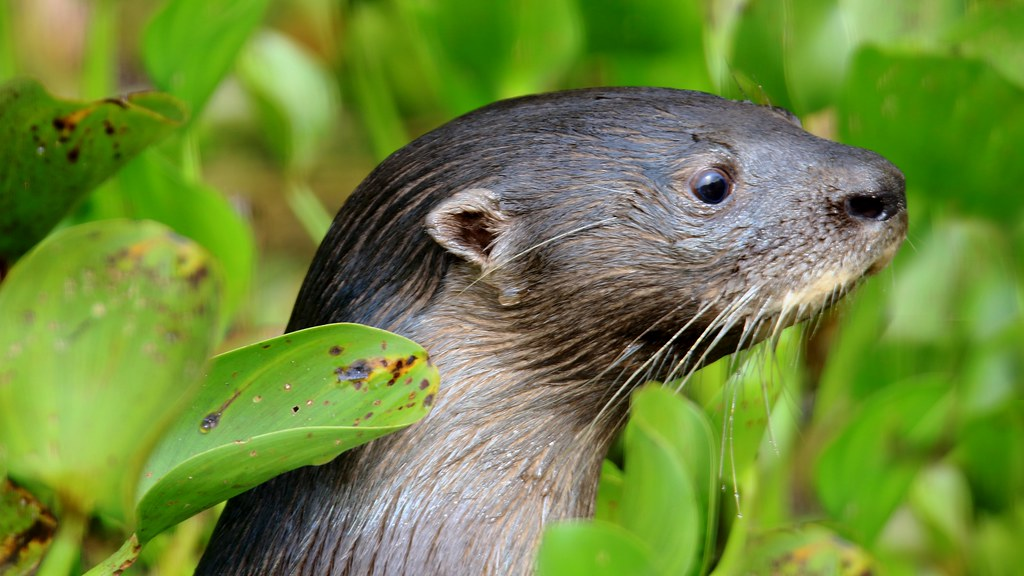 Neotropical Otter  Lontra longicaudis