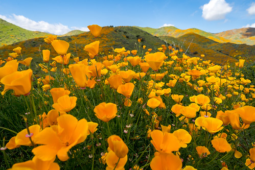 superbloom hike californiapoppies poppyreserve nature people poppies beauty hills hill superbloom2019 springtime california spring adventure trail beautiful bright colorful poppy walkercanyon photographers lakeelsinore overcrowded wildflower publicland flowers